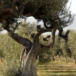 COAG Andalucía pide que se amplíe la autorización para regar un olivar muy perjudicado por la sequía