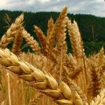 CIC:La cosecha mundial de cereales 2017/18 será la segunda más importante tras la del año pasado