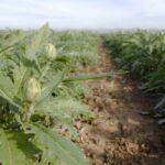 ENESA respalda la propuesta murciana para mejorar el seguro de la alcachofa