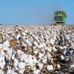 La producción de algodón crece un 28,3% hasta casi 195.300 t