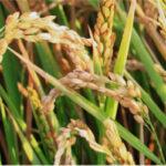 Italia pide nuevamente a Bruselas la cláusula de protección por las importaciones de arroz asiático sin aranceles