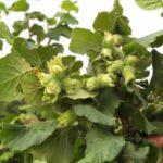 La cosecha de avellana será un 60% más baja de lo habitual