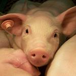 APAG apoya al alcalde en la implantación de una granja de cerdos en Luzón