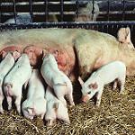 La producción mundial de carne de porcino podría aumentar en un 2% en 2018