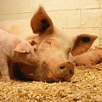 Los Top-10  de los mataderos alemanes aumentaron su producción en 2016