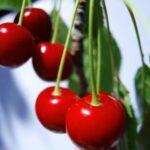 El sector extremeño de la cereza plantea su problemática al Ministerio