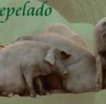 Aeceriber publica el Catálogo de Sementales de la Raza Porcina Ibérica 2017
