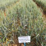 Importancia de la fertilización localizada en los cereales de invierno