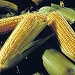 La superficie sembrada de maíz en esta campaña podría ser un 30% más baja que en 2015, según las estimaciones de la UE