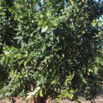 La Conselleria de Agricultura confirma la existencia de parcelas ilegales de la mandarina Sigal en la Comunitat Valenciana