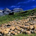 Castilla-La Mancha anuncia una nueva ayuda para el ovino y caprino en extensivo