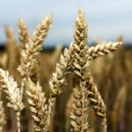 El CIC da todavía más producción mundial de trigo que el USDA