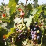 Ensayan una técnica para retrasar la maduración de la uva