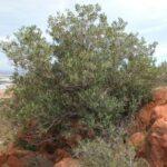 El genoma del olivo silvestre explica el porqué de la concentración de ácido oleico en la aceituna