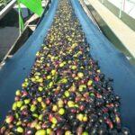 La producción de aceite de Jaén se acerca a la cantidad aforada