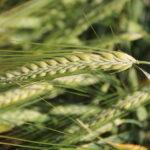 Situación de las siembras en Castilla y León y su impacto en las ayudas PAC