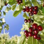 El grupo operativo Fitoscerezo analiza la disponibilidad de fitosanitarios y la mejora del cultivo en distintas CCAA