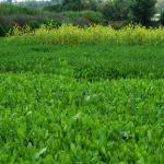 El cultivo conjunto de cuatro forrajeras favorece la supresión de malas hierbas
