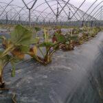 Se inicia la plantación de la fresa en Andalucía