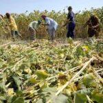 Los aceites vegetales empujan al alza el índice de precios de los alimentos de la FAO