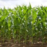 Buena cosecha de maíz en Francia que no se traduce en mayores ingresos