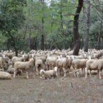 La Rioja y Valencia y las provincias de Albacete, Cuenca y Guadalajara han sido reconocidas como regiones oficialmente indemnes de brucelosis ovina y caprina