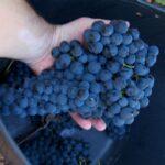 Finaliza la vendimia de 2017 en la D.O. Valdepeñas con 93,4 millones de kg de uva