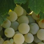 La vendimia de Montilla-Moriles cierra con un 20% menos de producción