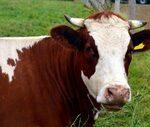 Francia podrá volver a exportar ganado vacuno a Turquía