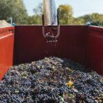 La cosecha más temprana de la historia de Rioja, escasa y de gran calidad