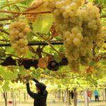 La DO Rías Baixas concluye la segunda mayor vendimia de su historia con más de 39.000 t de uva