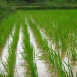 Desarrollan arroz que puede crecer en agua salada