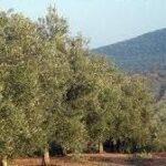 La comercialización de aceite de oliva se incrementa un 7% respecto a la campaña anterior