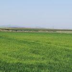 La producción de arroz en Extremadura supera las 148.000 t y desciende casi un 9% en esta campaña