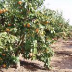 AVA-ASAJA pide a Agroseguro que adelante el pago a los productores de caqui afectados por la helada