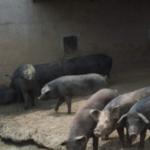 Por primera vez China produce más cerdos en las grandes explotaciones que en las pequeñas