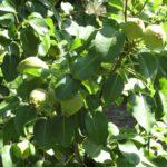 Unión de Uniones insiste en el plan de arranque y la reconversión varietal como solución a la crisis de la fruta dulce