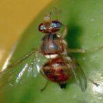 Sistema pionero para el recuento e identificación bioacústica remota de la mosca del olivo