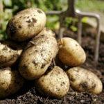 La Xunta lleva eliminadas más de 370 t de patata desde la detección de la plaga de la polilla guatemalteca en 2015