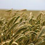 El CIC mantiene sus previsiones de cosecha mundial de cereales