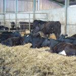 Una nueva prueba mejorará el control de la Fasciola Hepática en el ganado