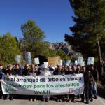 Más de mil manifestantes protestan en Guadalest contra el arranque de más árboles sanos