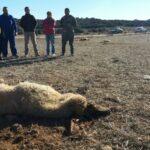 70 ovejas envenenadas con urea en un pueblo de Guadalaja