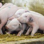 Rusia prohíbe la entrada de animales y carne de cerdo de Rumania