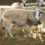 Descienden los precios de la carne de cordero, siendo fechas en las que tendría que subir