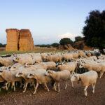 Las OPAS y las Cooperativas de Castilla y León piden la intervención de la Consejería para reequilibrar contratos de leche de oveja