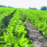 Aumentan el nivel de proteínas en la soja sin modificar su rendimiento