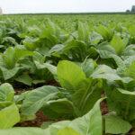Las cooperativas extremeñas piden contratos plurianuales y precios dignos para el tabaco