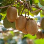 Galicia se mantiene como líder nacional en producción de kiwi