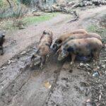 El cerdo ibérico Manchado de Jabugo se mantiene gracias al esfuerzo de ganaderos y Diputación